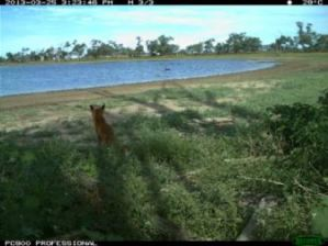 Feral fox captured by the motion-triggered cameras (Source: CSIRO)