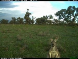 Kangaroo captured by the motion-triggered cameras (Source: CSIRO)