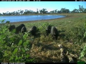 Feral pigs captured by the motion-triggered cameras (Source: CSIRO)