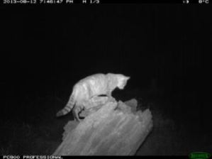 Feral cat captured by the motion-triggered cameras (Source: CSIRO)